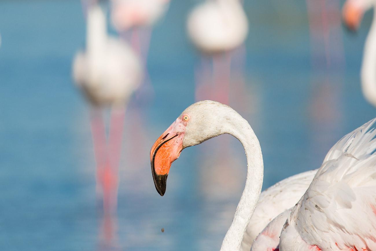camargue_flamingo_1300